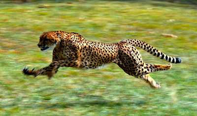 A picture of a running cheetah